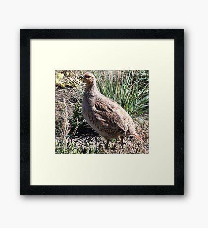 Sharp Tailed Grouse Framed Print