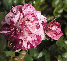 Purple Striped White Rose #14 by Sandra Gray