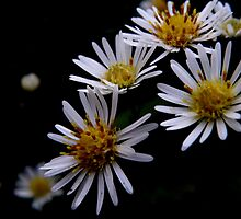 Daisy Fleabane (Flower Drama Series) by mercale