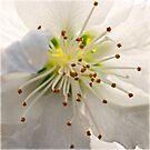 Ornamental pear blossom by Celeste Mookherjee