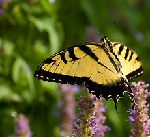 Butterfly Flutterby by Jeff Weymier