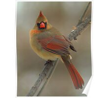 Female Northern Cardinal - Bay Beach Wildlife Sanctuary Poster