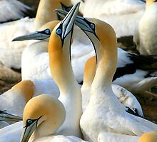 Cape Gannet Courtship by naturalnomad