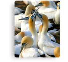 Cape Gannet Courtship Canvas Print