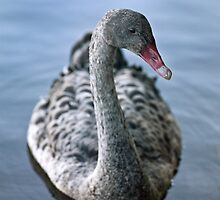 Juvenile Black Swan by Odille Esmonde-Morgan