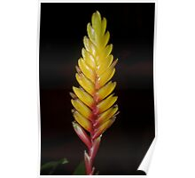 Bromeliad bloom Poster