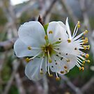 Blossom of Almonds For The Birds by DEB CAMERON