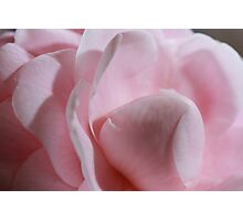 Pink Camellia close up Photographic Print