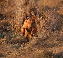 Sandy, on the run.... labrador retriever by michaelwallwork