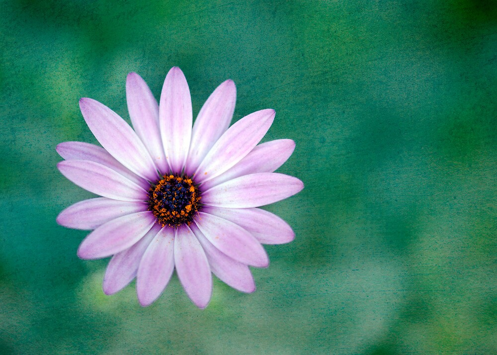 Just One - purple daisy by Jenny Dean