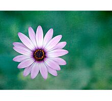 Just One - purple daisy Photographic Print