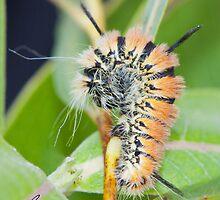 Fingered Dagger Moth Acronicta dactylina Caterpillar by DigitallyStill