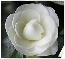 White Camellia Japonica in near full bloom Poster