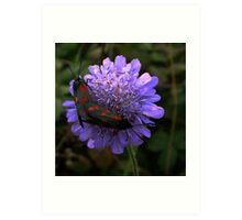 6 spot Burnet Moths Art Print