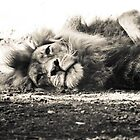 Black and white Lazy Lion in the shade by DaniBrown