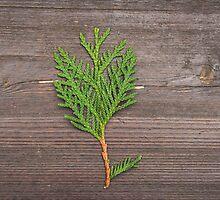 small pine tree by kittenmomo
