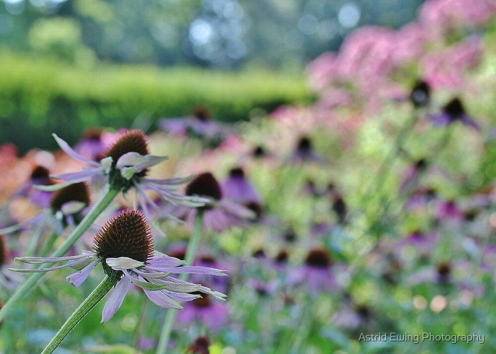 Coneflower Bokeh by Astrid Ewing Photography