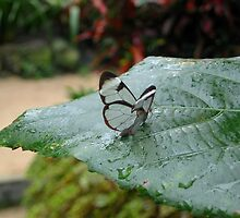 a tiny little Glasswing by ienemien