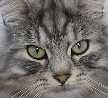 Shadow the Silver Tabby Persian Cat by Fiona Cross