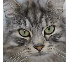 Shadow the Silver Tabby Persian Cat Photographic Print