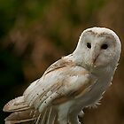 European Barn Owl by JMChown