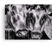 Two Cows Canvas Print