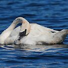 White Swan by Todd Weeks