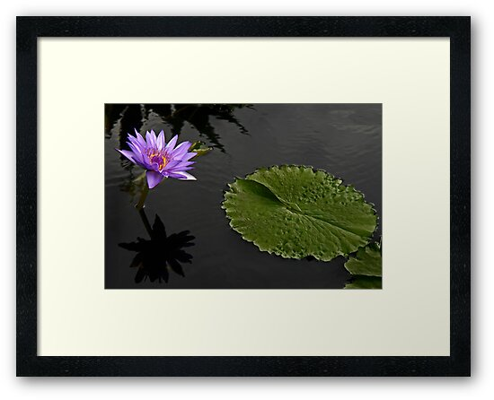 Lavender Waterlily by cclaude