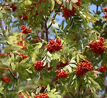 bunches of red rowan swaying by mrivserg