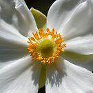 White Anemone by Mattie Bryant