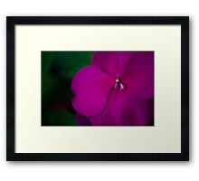 Purple Impatien Framed Print