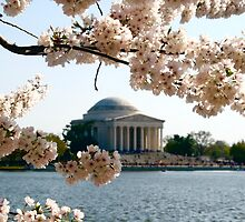 Cherry Blossoms and Jefferson Memorial  by shoot2print