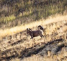 Big Horn Sheep - Kootenay's Mountain Range - Radium Hot Springs - BC by Yannik Hay