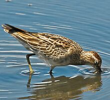 Sharp Tailed Sandpiper by Tom Newman