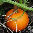 Little Pumpkin by Jonice