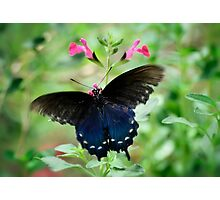 Pipevine Swallowtail Butterfly Photographic Print