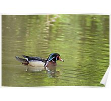 Wood Duck. Poster