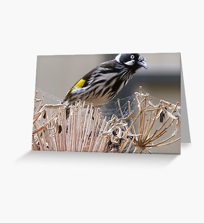 New Holland Honeyeater Greeting Card