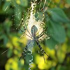 a spiders shadow by cliffordc1