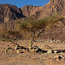 Gaffer Tree in the Desert by Helen Shippey
