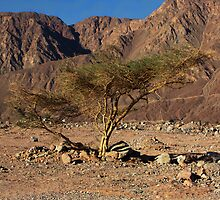 Gaffer Tree in the Desert by Helen Shippey
