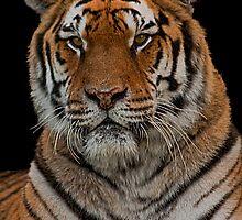 Amur Tiger Portrait by JMChown