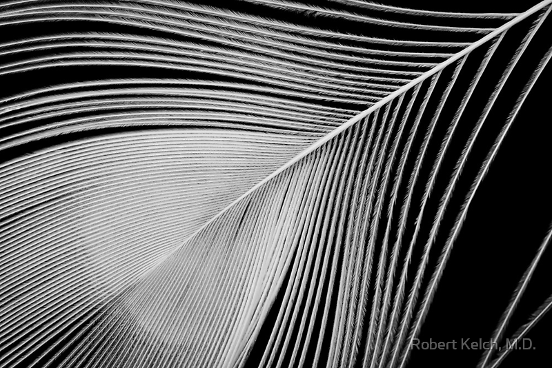 Peacock feather by Robert Kelch, M.D.