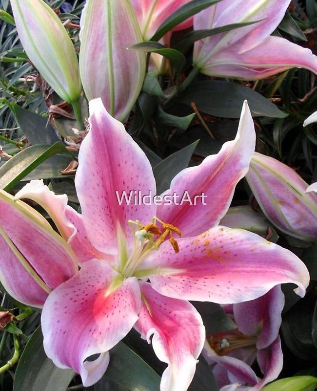 Lily by WildestArt