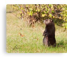 Black Coat Groundhog Canvas Print