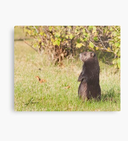 Black Coat Groundhog Metal Print