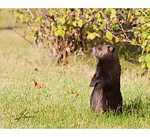Black Coat Groundhog Photographic Print