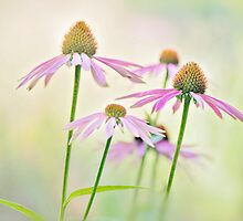 Coneflower canvas by Jacky Parker
