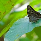 Butterfly by BrianDawson
