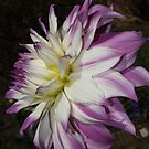 White and Purple Dahlia-my Fathers favourite by AnnDixon